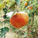 There's a Subscription for That: Orchard-Fresh Apples